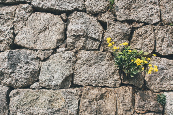 Yellow Flowers Growing Through The Cracks In A Brick Wall